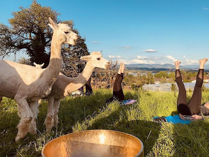 Ein Abend inmitten Alpakas. Yoga. Live Musik. Und vieles mehr: Bild
