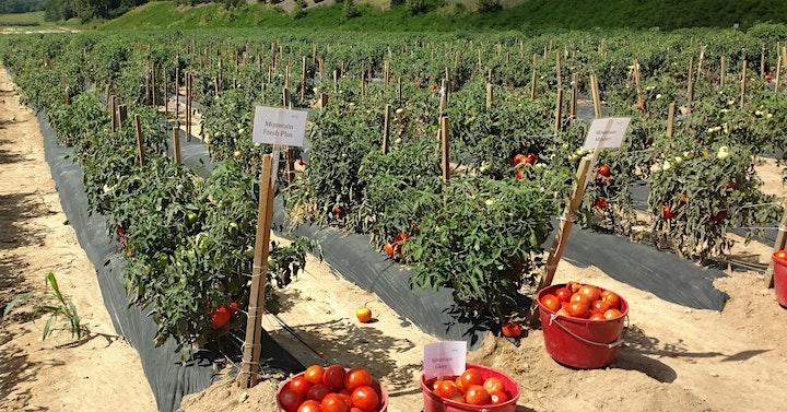 MHCREC Tomato Field Day image