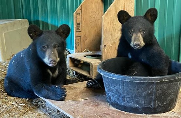 A Virtual Night of Comedy in support of Black Bear Rescue Manitoba image