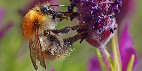 An Online Talk by Prof Dave Goulson - Gardening for Bees tickets