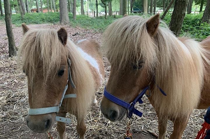 Miniature Shetland Pony Walk and Picnic in the Paddock - Jul-Sep image
