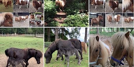 Miniature Shetland Pony Walk and Picnic in the Paddock - Jul-Sep tickets