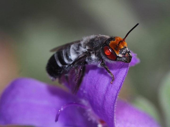 Science Trail - Native bees and how to conserve them with Kit Prendergast image