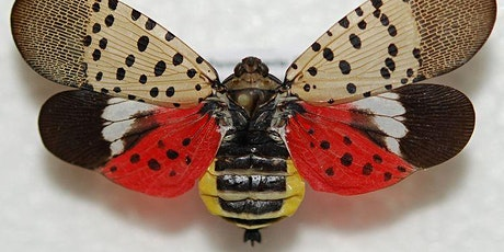 Make and Take a Spotted Lanternfly Trap tickets