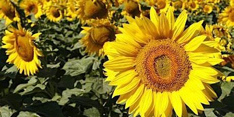 Trelonk Sunflower Fields 1 hour visit tickets