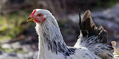 Backyard chickens and quail