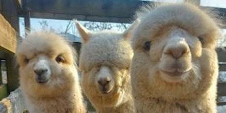 A spasso con gli alpaca tickets