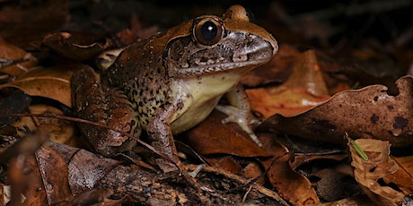 Threatened Frogs of the Blackall Range tickets