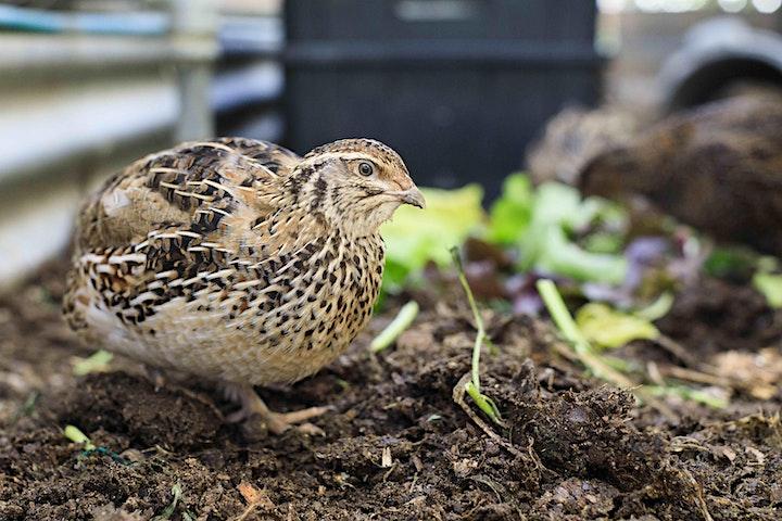 Backyard chickens and quail image