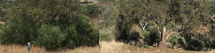 Free the Trees: Removing the olive threat to old growth gums 4th Oct image