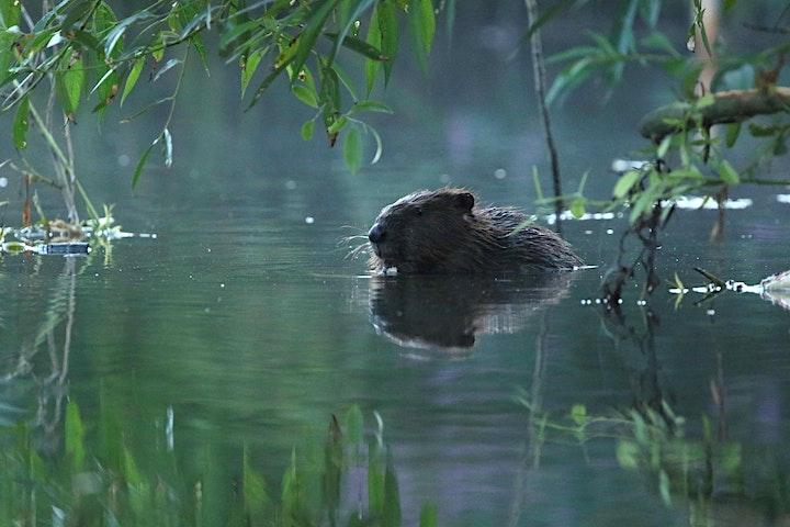 Bringing Beavers back to Britain - Online Talk image