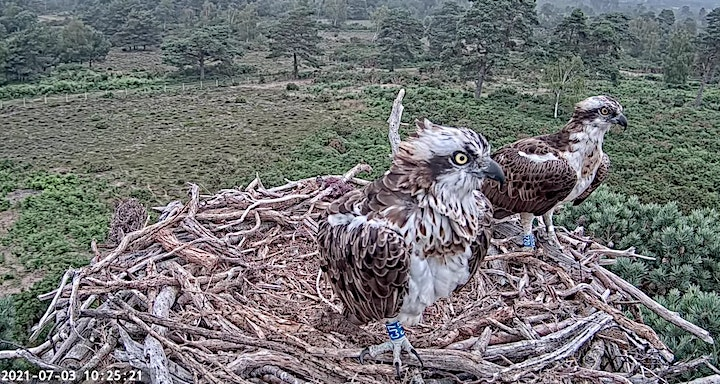 The Poole Harbour Osprey Project - Online Talk image