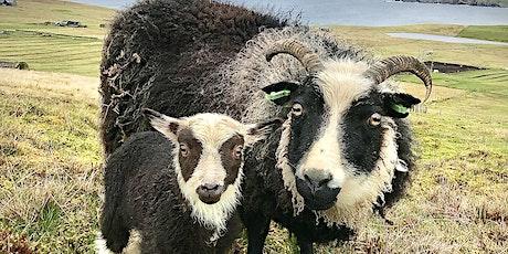 Lambing in Shetland 2021 with Chris Dyer   Shetland Wool Week biglietti