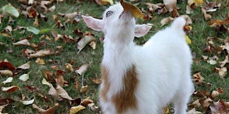 POP UP NamastHay Goat Yoga™ Pygmy Picnic tickets