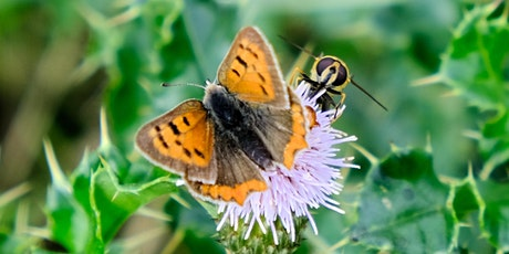 Insects and Hedgerows: the B-Lines project: a talk by Kate Jones tickets