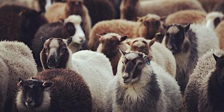 Lambing in Shetland 2021 with Chris Dyer | Shetland Wool Week tickets