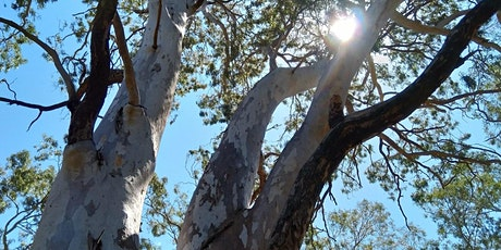 Remnant River Red Gums - A Guided Tour tickets
