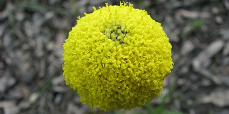 Wildflower Wandering in the Brisbane Ranges - Geelong Nature Forum tickets