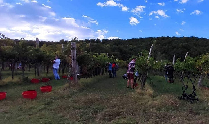 Grape Harvest Grape Stomping Wine Tasting and Lunch in the Berici Hills #2 image