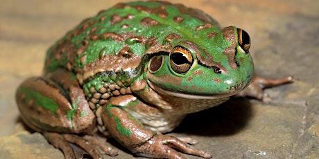 Fantastic Frogs of Boroondara - Frog Census event biglietti