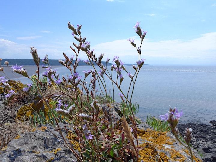 Coastal Plants of Somerset image