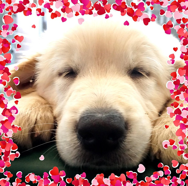 Seeing Eye Dogs FREE ONLINE Puppy Caring Q+A for Bendigo area image