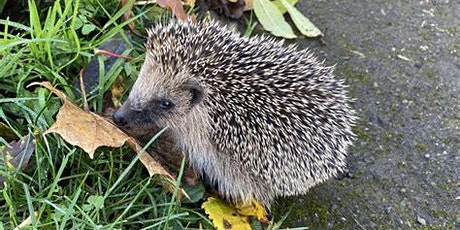 Hedgehog Friendly Shaftesbury tickets