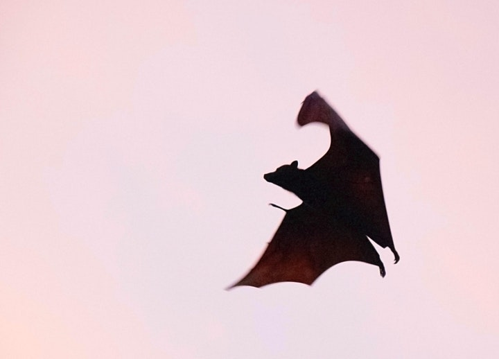 Nature Hour: Going Batty - Bat Ecology and Conservation image