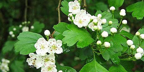 Medicinal Plants in the Hedgerows tickets