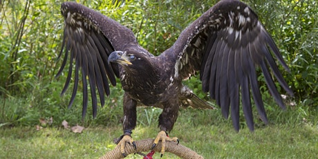 Live Raptor Display and Presentation (Festival of Hawks) tickets