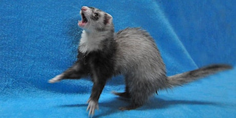 What about Ferrets? tickets