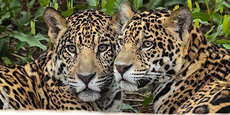Jaguars of the Pantanal ~ Brazil ~ August 2022 ingressos