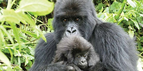 Cultural Tuesdays: Veronica Vecellio Presents World Gorilla Day tickets