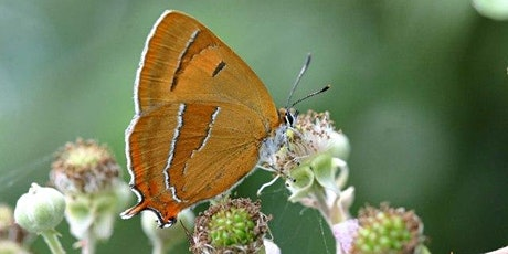 Brown Hairstreak egg search at Stafford Road Open Space, Ruislip Gardens tickets