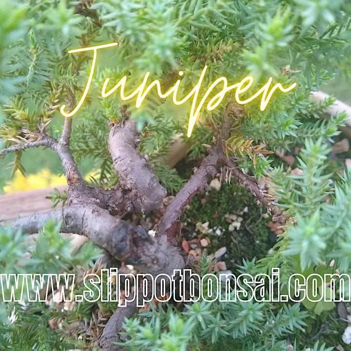 Juniper Bonsai at Rec Room image