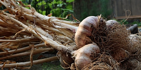 Growing HUGE Garlic & Extending the season tickets