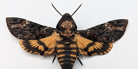 Death Head Moth Pinning tickets