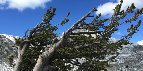 Whitebark Pine Restoration and Recovery tickets