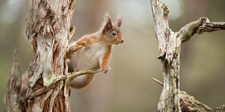 Red squirrels in Central Scotland tickets
