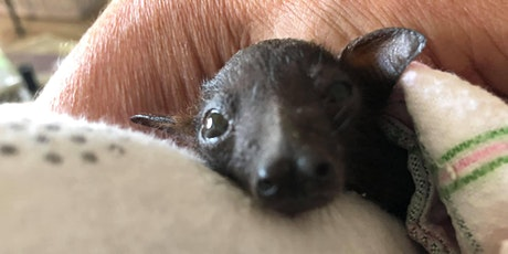 Batty weekend in Yeppoon - Introduction to bat care and rescue with Connie tickets