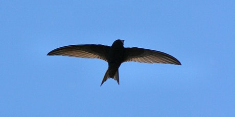 Swift Conservation: an illustrated talk by John Ellicock tickets