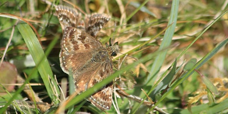 Online talk: The natural history of the Dingy Skipper butterfly tickets