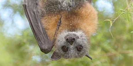 Grey-Headed Flying Foxes in the Suburbs tickets