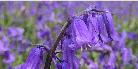 Photography - Beautiful Bluebells (Change of date) tickets