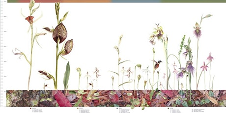 Drawing Native Australian Orchids tickets