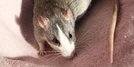 National Fancy Rat Society Show at Theale tickets