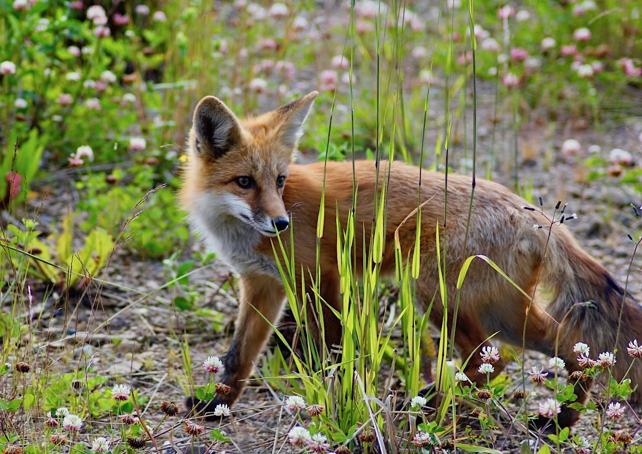 GCC Fall Webinar Series 6 – Why participate in wildlife rehabilitation?