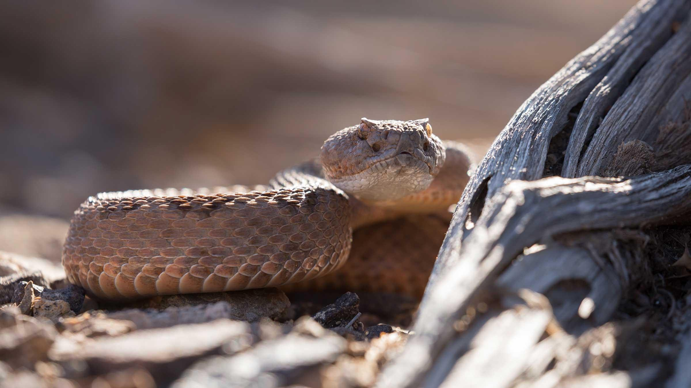 GCC Fall Webinar 8 – Conservation issues facing the Western Rattlesnake