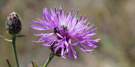 GCC Fall Webinar 7 - Knapweed: History, Impacts and its future in BC tickets
