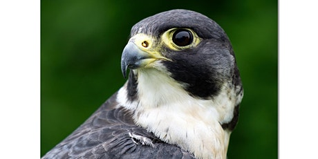 Wild In Bayside Online - Peregrine Falcons tickets